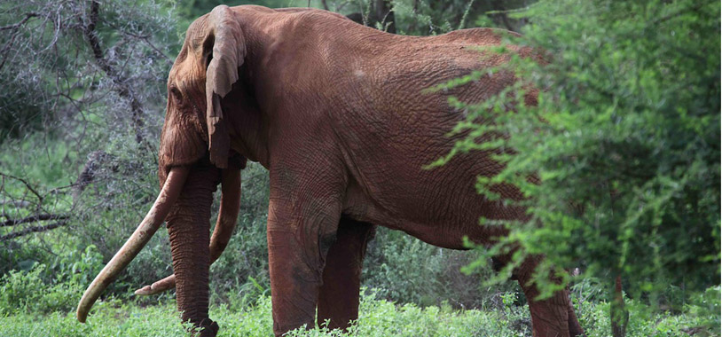 The Spirit of Satao: The Great Tuskers that transport you across the ages