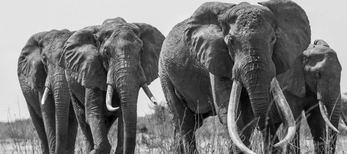 The Spirit of Satao - The Great Tuskers that transport you across the ages