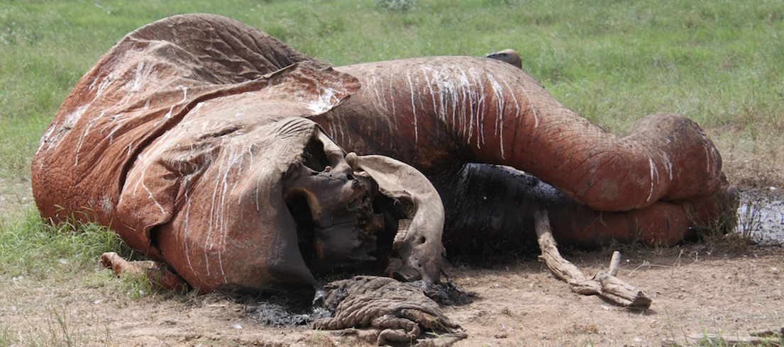 OVER 100,000 AFRICAN ELEPHANTS KILLED IN 3 YEARS