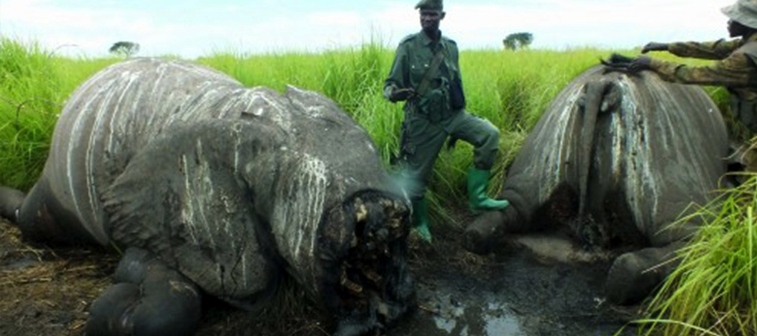 Poachers slaughter 30 elephants in Democratic Republic of Congo national park