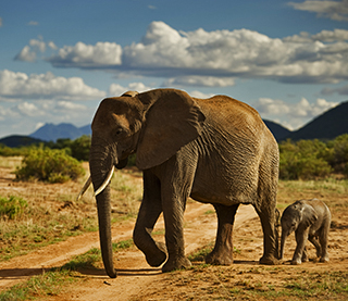 save the elephants, elephant, elephants are important, why elephants are important, STE, wildlife conservation, wildlife, elephant tusks, Samburu National Reserve, Kenya, Elephant Crisis Fund, ECF, WCN, World Conservation Network, Leonardo DiCaprio Foundation