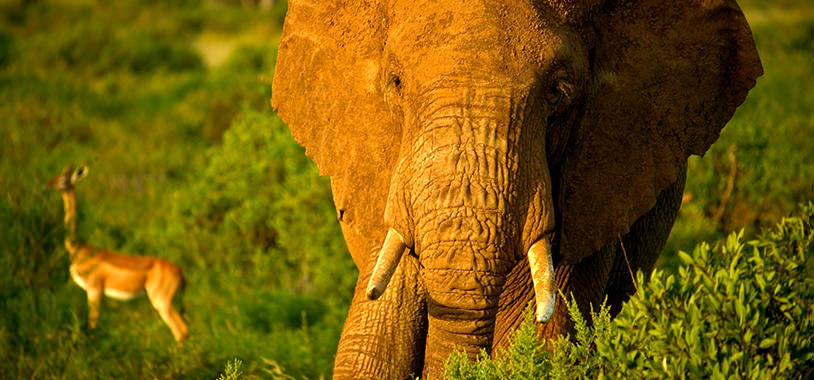 save the elephants, elephant, elephants are important, why elephants are important, STE, wildlife conservation, wildlife, elephant tusks, Samburu National Reserve, Kenya, research, samburu elephant projects