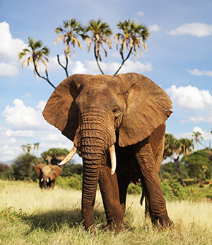 save the elephants, elephant, elephants are important, why elephants are important, STE, wildlife conservation, wildlife, elephant tusks, Samburu National Reserve, Kenya, why are elephants important, importance of elephants