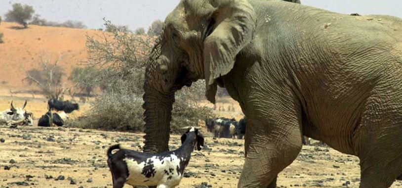 save the elephants, elephant, elephants are important, why elephants are important, STE, wildlife conservation, wildlife, elephant tusks, Samburu National Reserve, Kenya, research, Mali, desert, desert elephants, desert elephants of Mali
