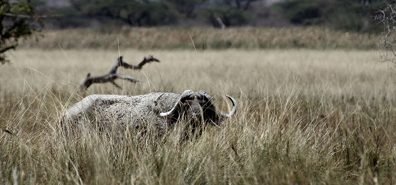 A buffalo in Shaba - painted a distinct white colour.  @Ryan Wilkie/STE
