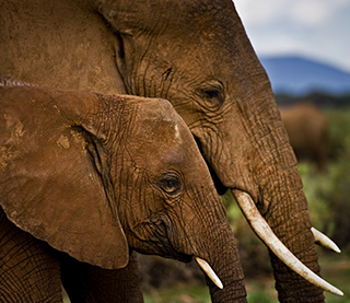 save the elephants, elephant, elephants are important, why elephants are important, STE, donate, wildlife conservation, wildlife, elephant tusks, Samburu National Reserve, Kenya, Koilatel, poaching, poaching crisis, poached, elephant poaching