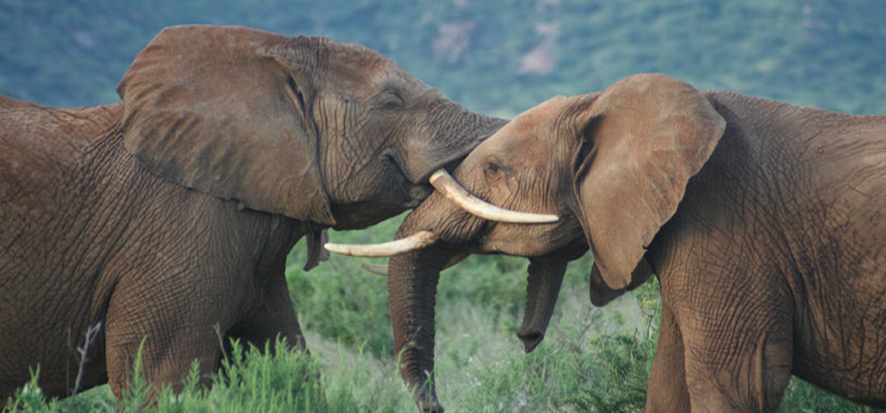 save the elephants, elephant, elephants are important, why elephants are important, STE, wildlife conservation, wildlife, elephant tusks, Samburu National Reserve, Kenya, awareness, communication