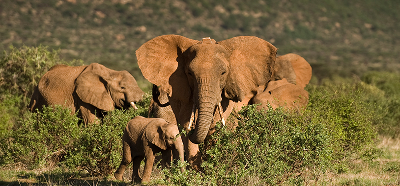 save the elephants, elephant, elephants are important, why elephants are important, STE, wildlife conservation, wildlife, elephant tusks, Samburu National Reserve, Kenya, research, tracking, monitoring, real-time monitoring